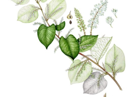 Japanese Knotweed: Botanical illustrations and diagrams