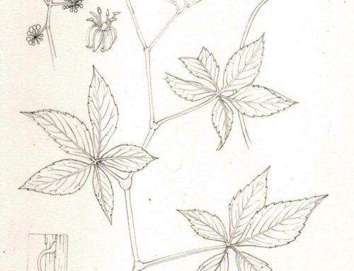 Step by Step: False Virginia Creeper