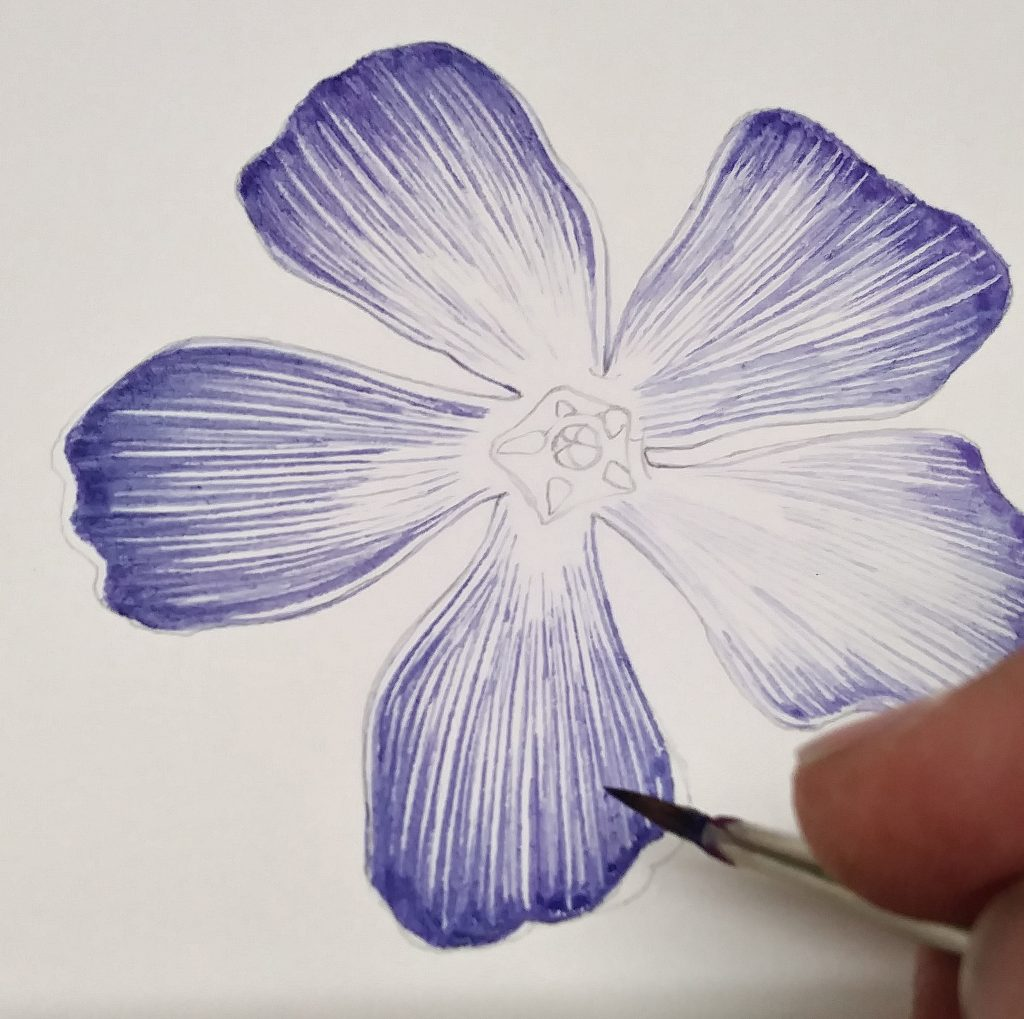 Laying colour onto the periwinkle botanical illustration