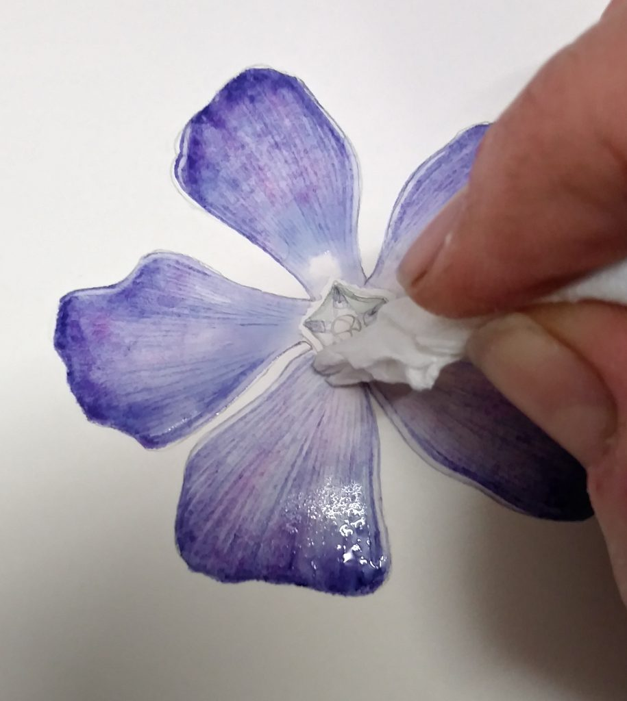 blotting the periwinkle botanical illustration