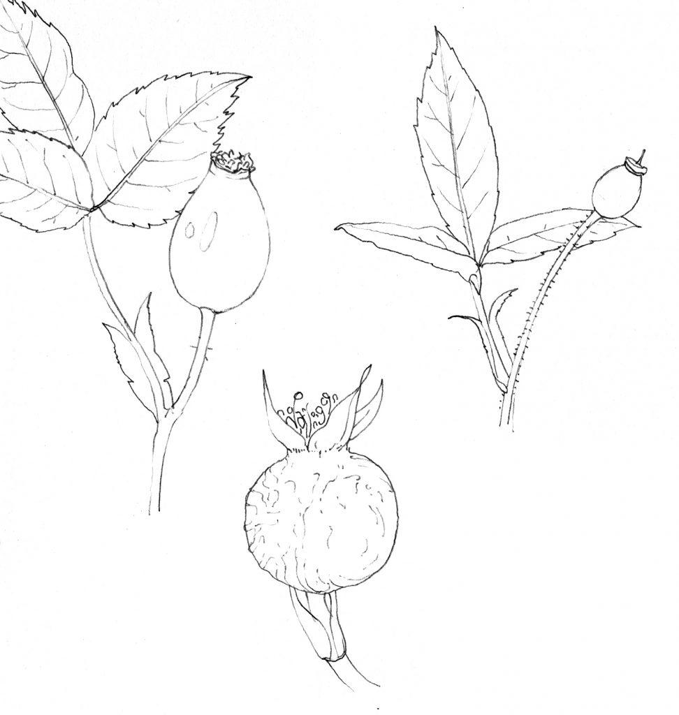 rosehip variation