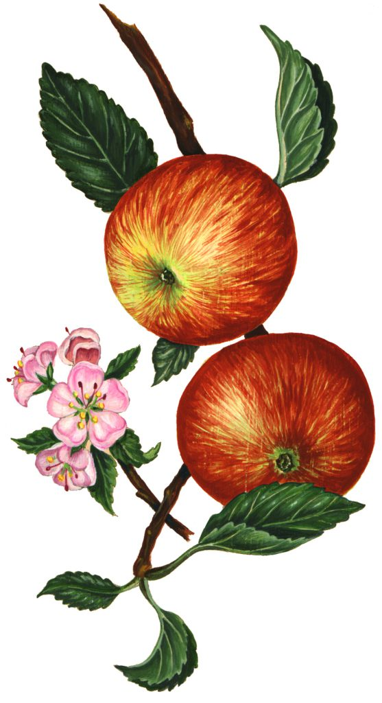 Somerset redstreak apple Malus domestica natural history illustration by Lizzie Harper