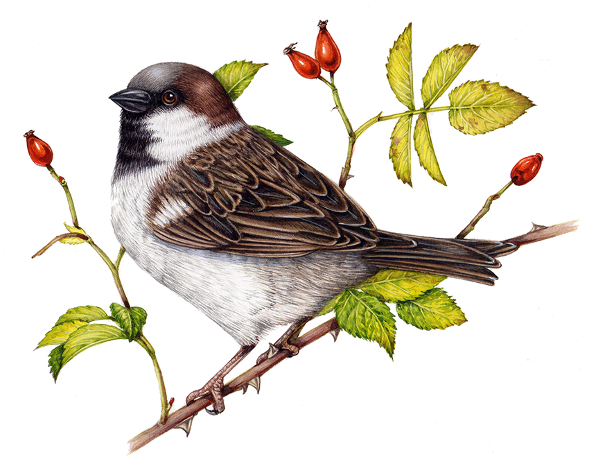 Sparrow on branch natural history illustration