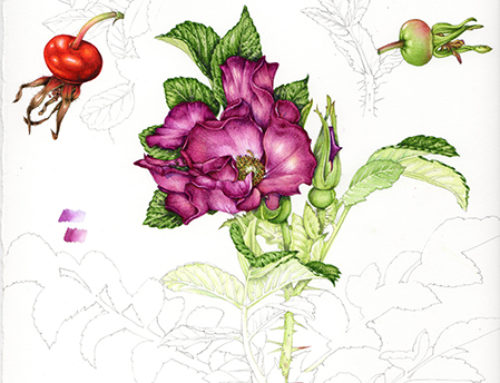 Botanical Illustration: Rosehips