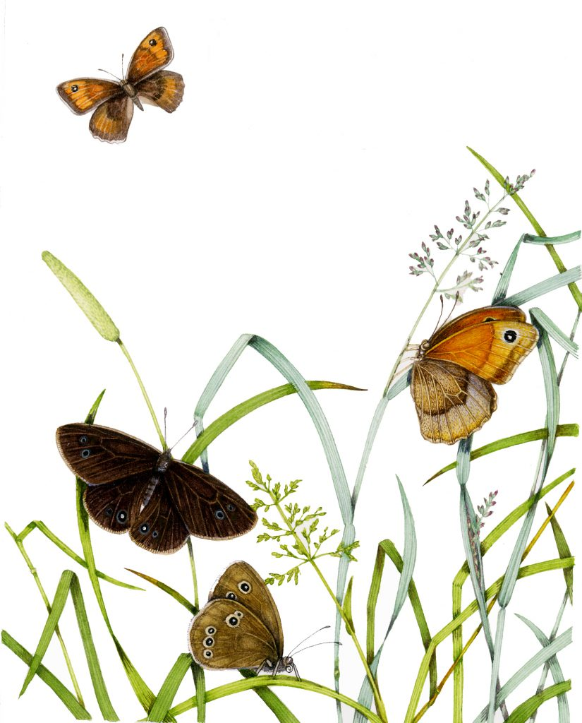 Ringlet Aphantopus hyperantus and meadow brown aniola jurtina butterfly natural history illustration by Lizzie Harper