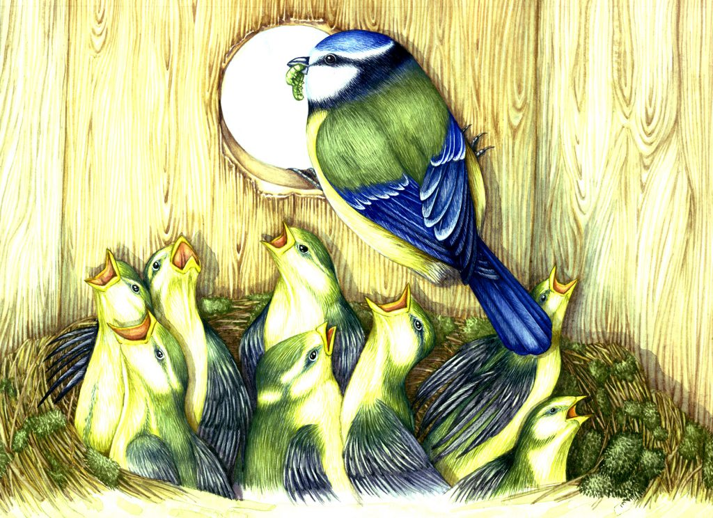 Blue tit feeding tis chicks natural history illustration by Lizzie Harper