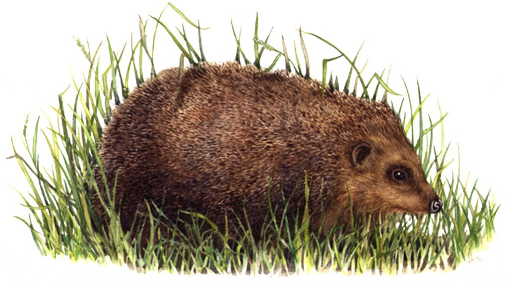 Hedgehog Erinaceus europaeus natural history illustration by Lizzie Harper