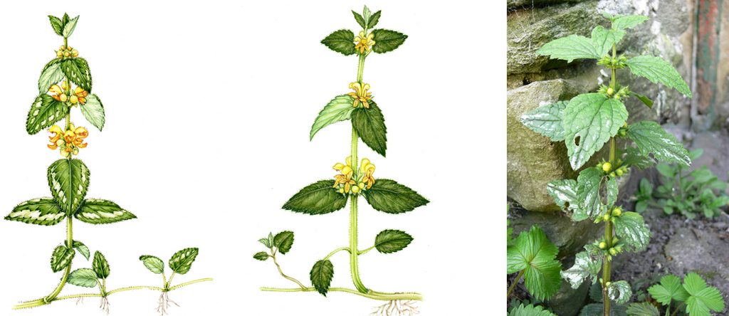 variagated and wild yellow archangel with photo of garden plant
