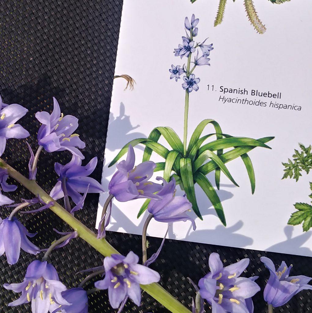 non-native bluebell plant and specimen compared