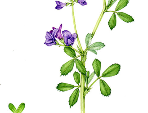 Step by Step Everlasting Sweet pea botanical illustration