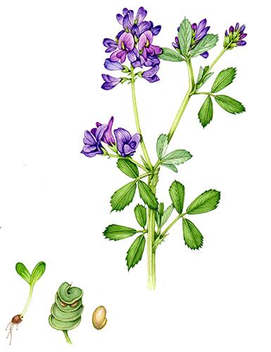 alfaflfa