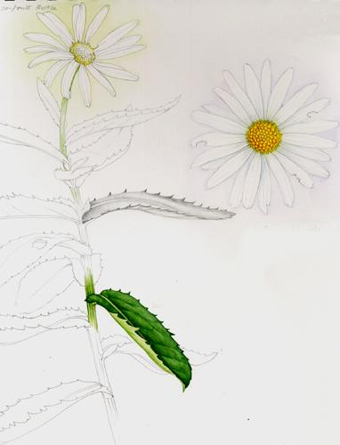 daisy asteraceae