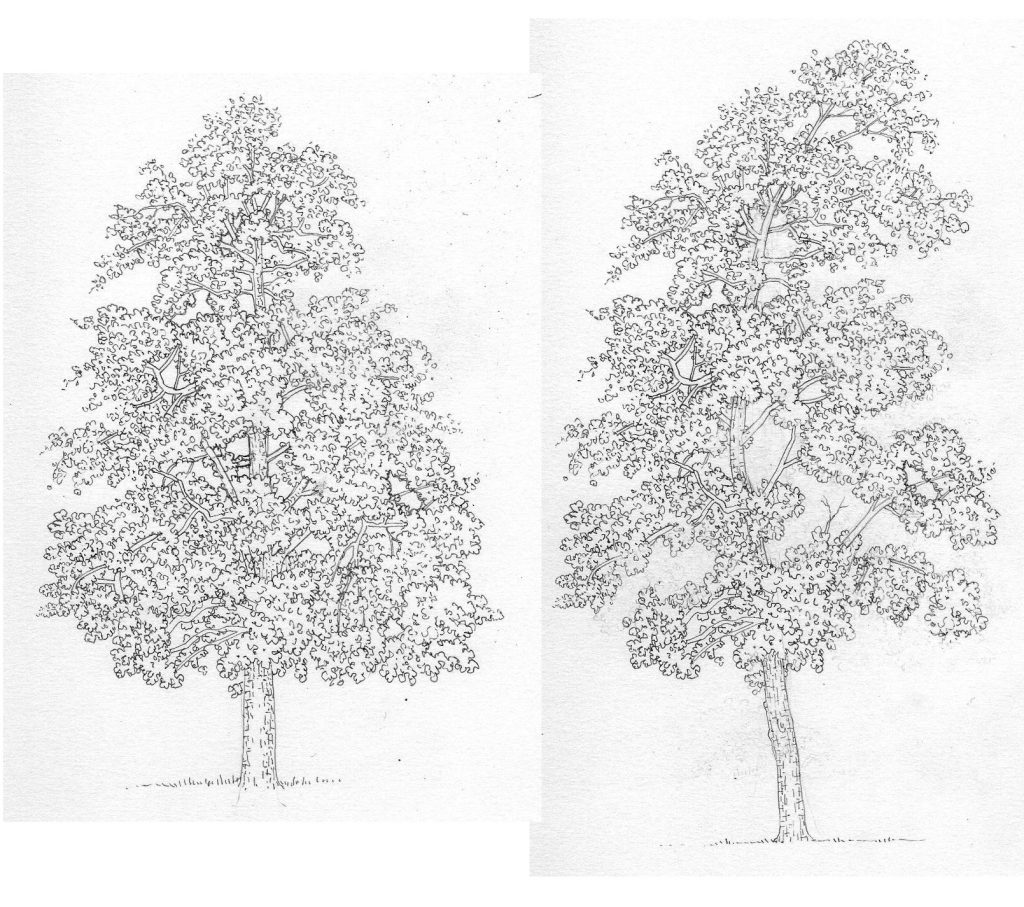 Pen and Ink Illustrations of Trees