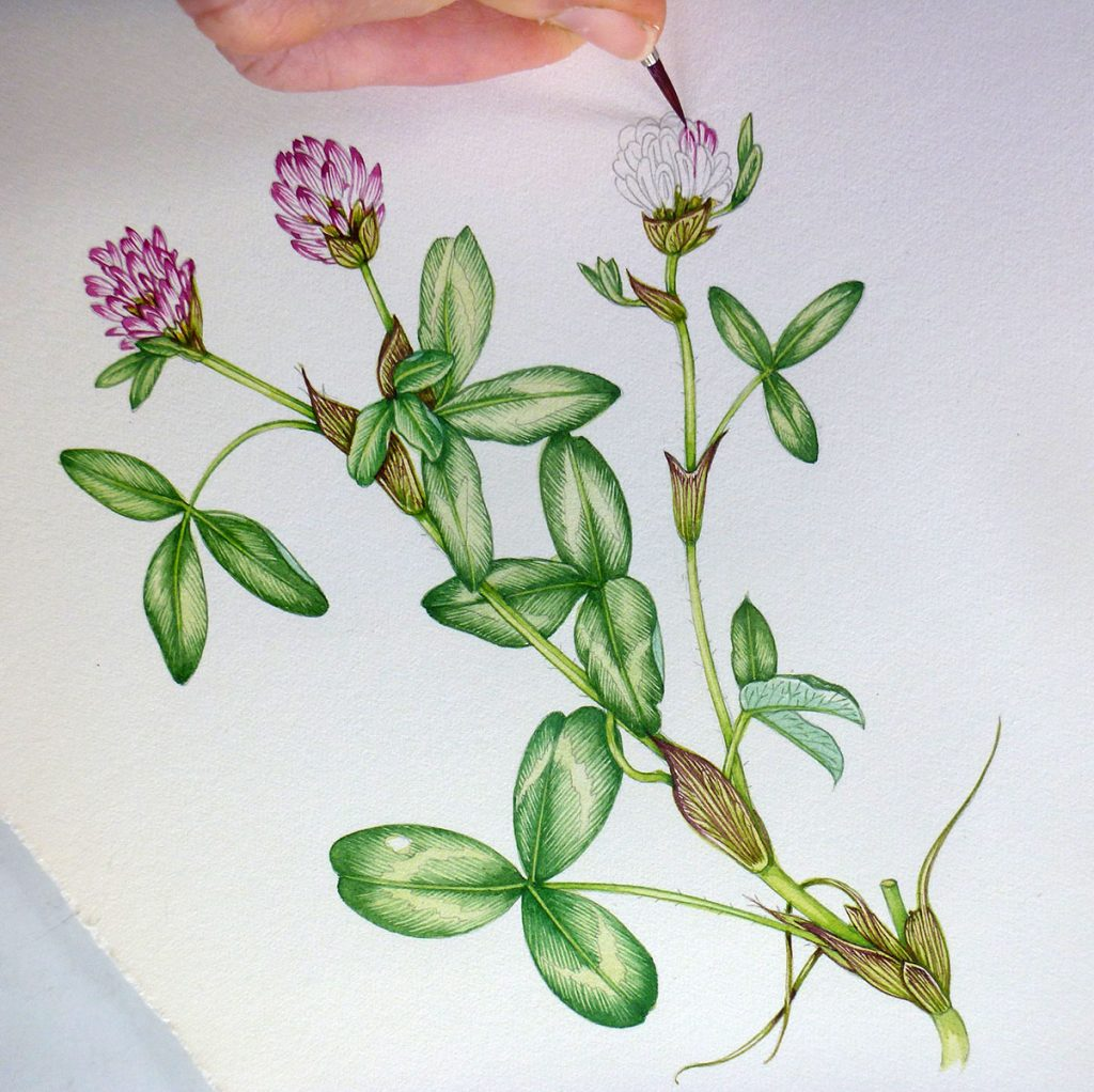 clover, trifolium, meadow, botanical illustration,