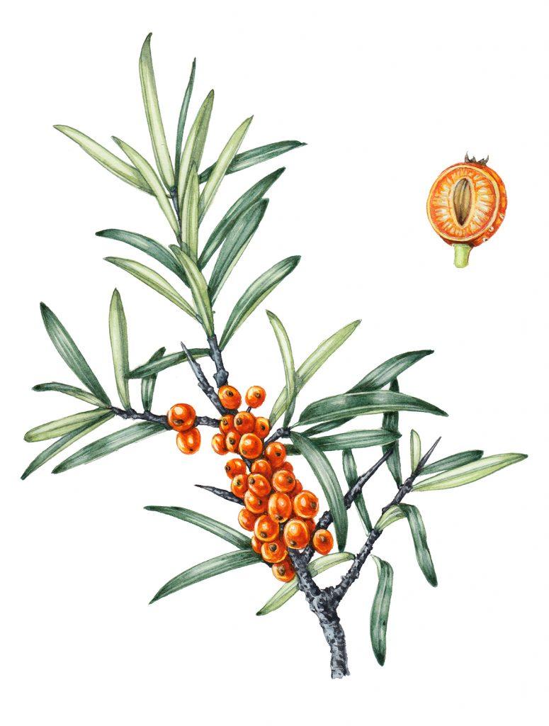 Sea buckthorn botanical illustration by Lizzie Harper