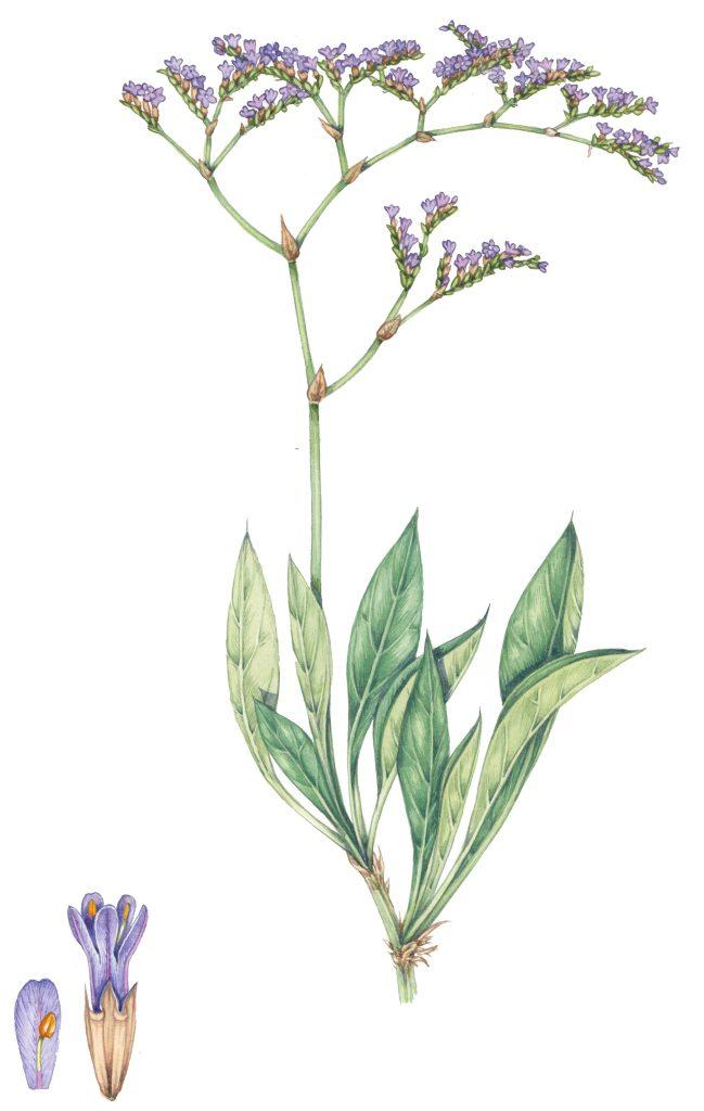 halophytes Coastal seaside plant flowers