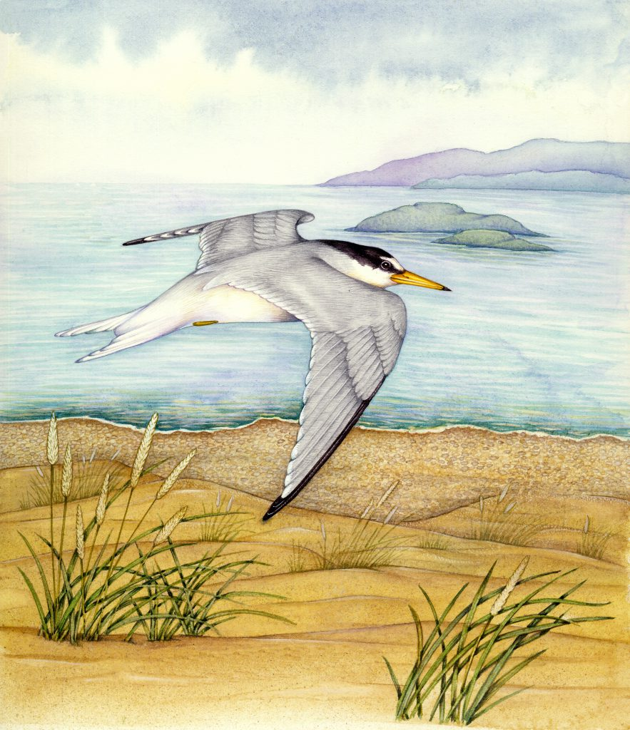 Little tern Sternula albifrons natural history illustration by Lizzie Harper