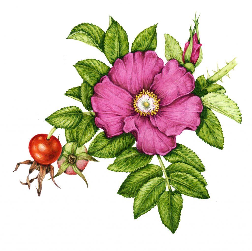 Rose botancial illustration by Lizzie harper