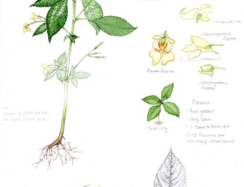 Sketchbook illustrations of Invasive Plants