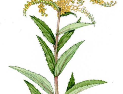 Comparing Goldenrod Species