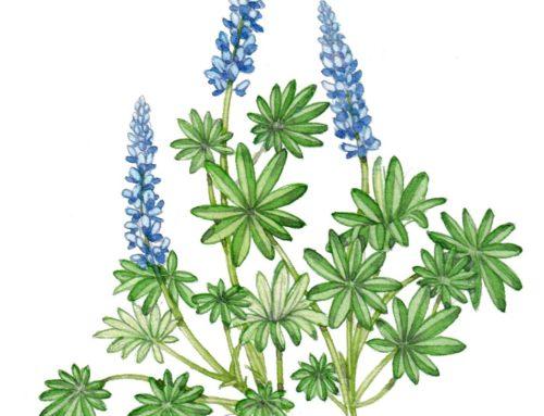 Garden Lupin Sketchbook study