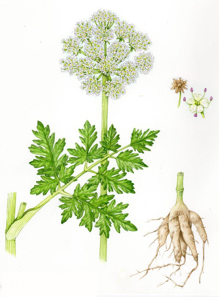 Hemlock Water dropwort Oenanthe crocata natural history illustration by Lizzie Harper