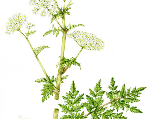 Comparing Hogweed Heracleum Species