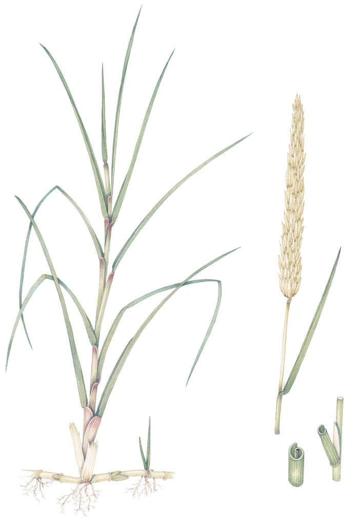 botanical illustration by Lizzie Harper