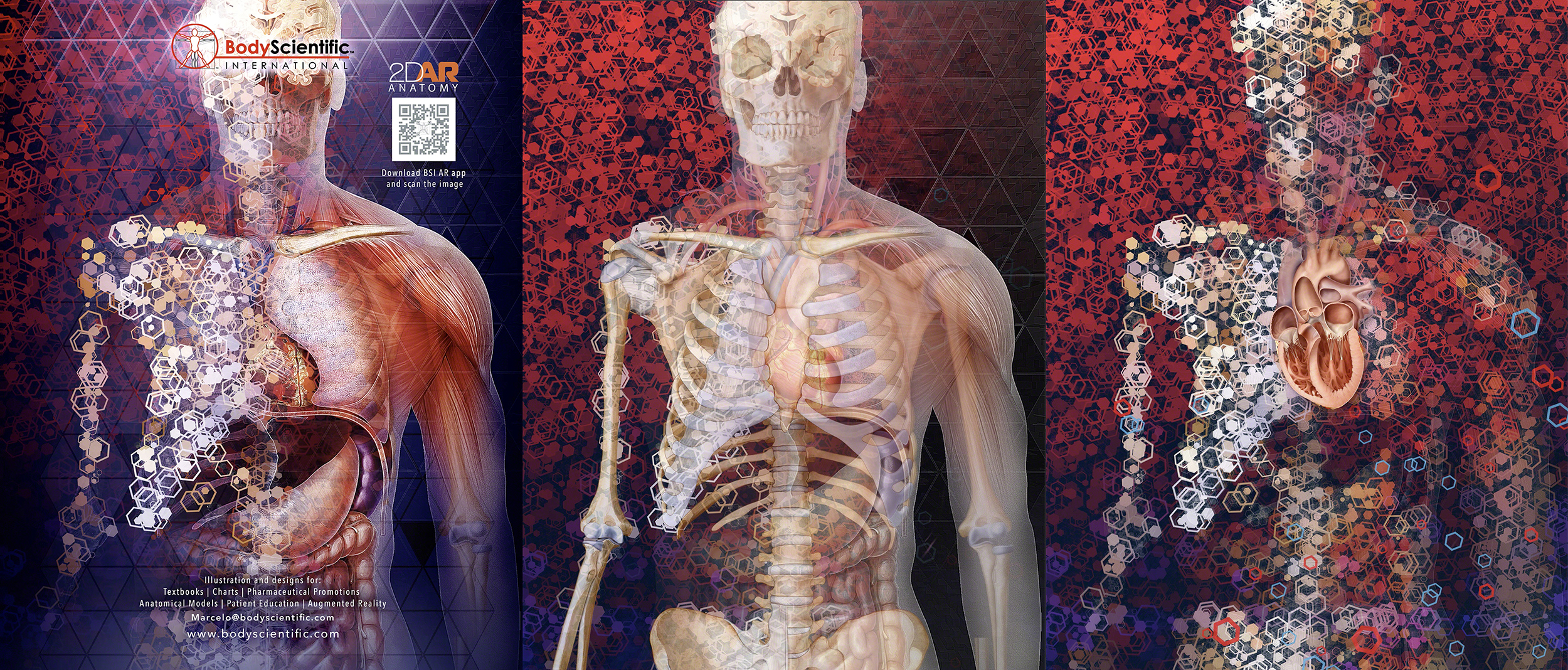 animated art illustration of human anatomy