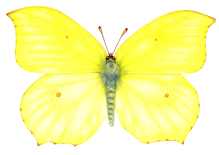 Natural history sciart entomological illustratraion of the Brimstone butterfly