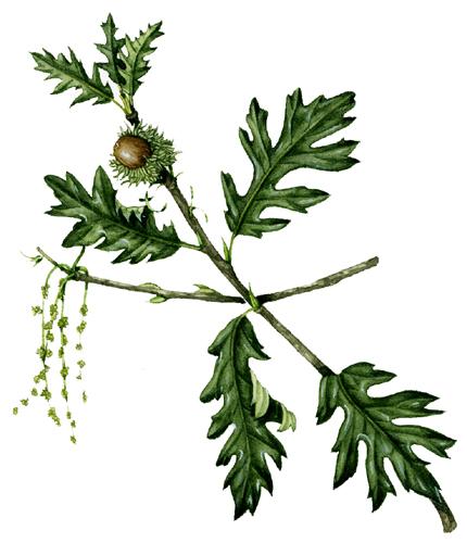 leaf, leaf attachment, botany, botanical terms, leaves, veins, venation,