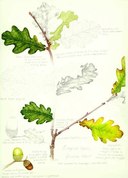 oak tree, leaves