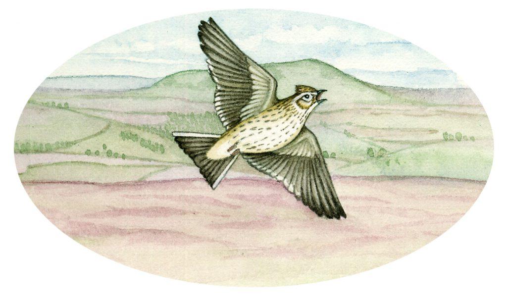 Skylark Alauda arvensis natural history illustration by Lizzie Harper
