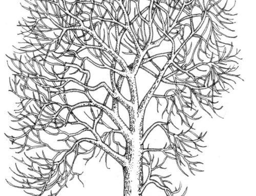 Trees: Ash