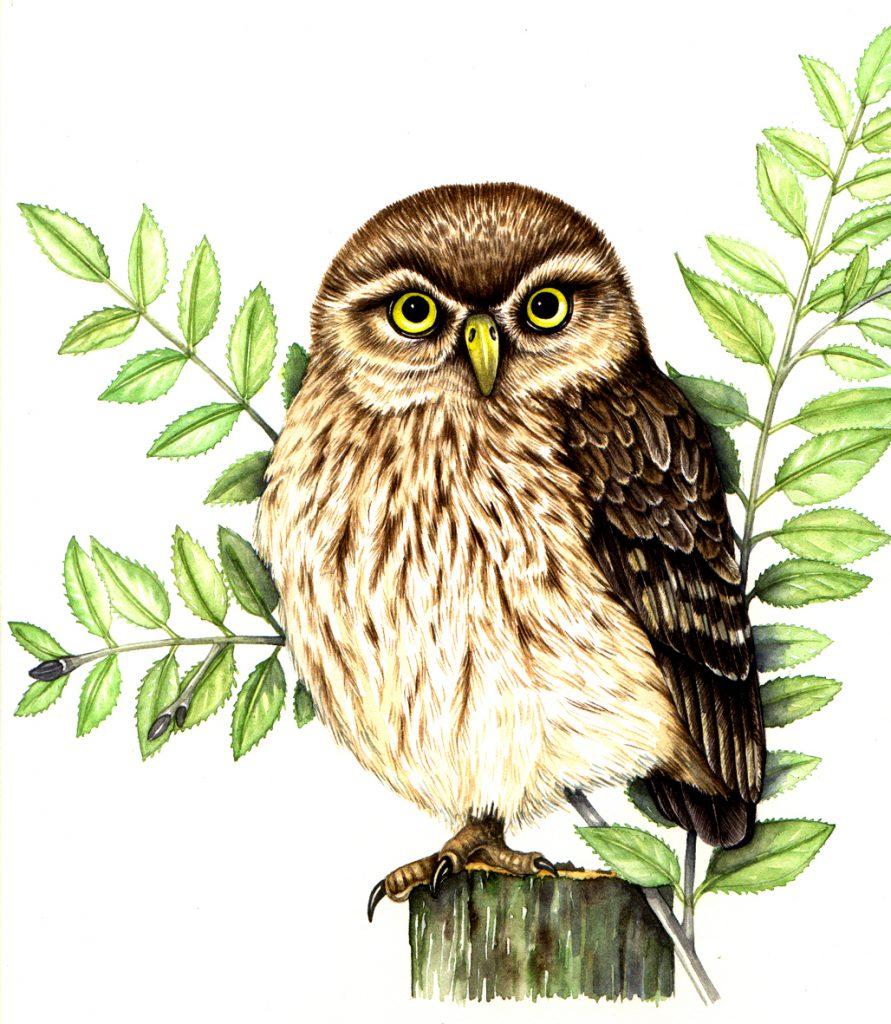 Little owl Athene noctua natural history illustration by Lizzie Harper