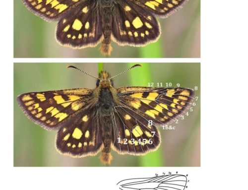 Chequered Skipper Butterfly Illustration