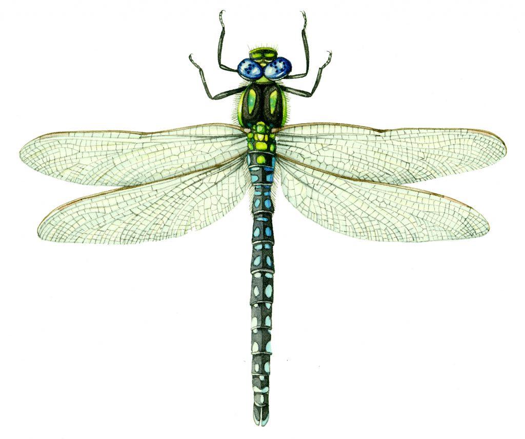 Hairy dragonfly Brachytron pratense natural history illustration by Lizzie Harper