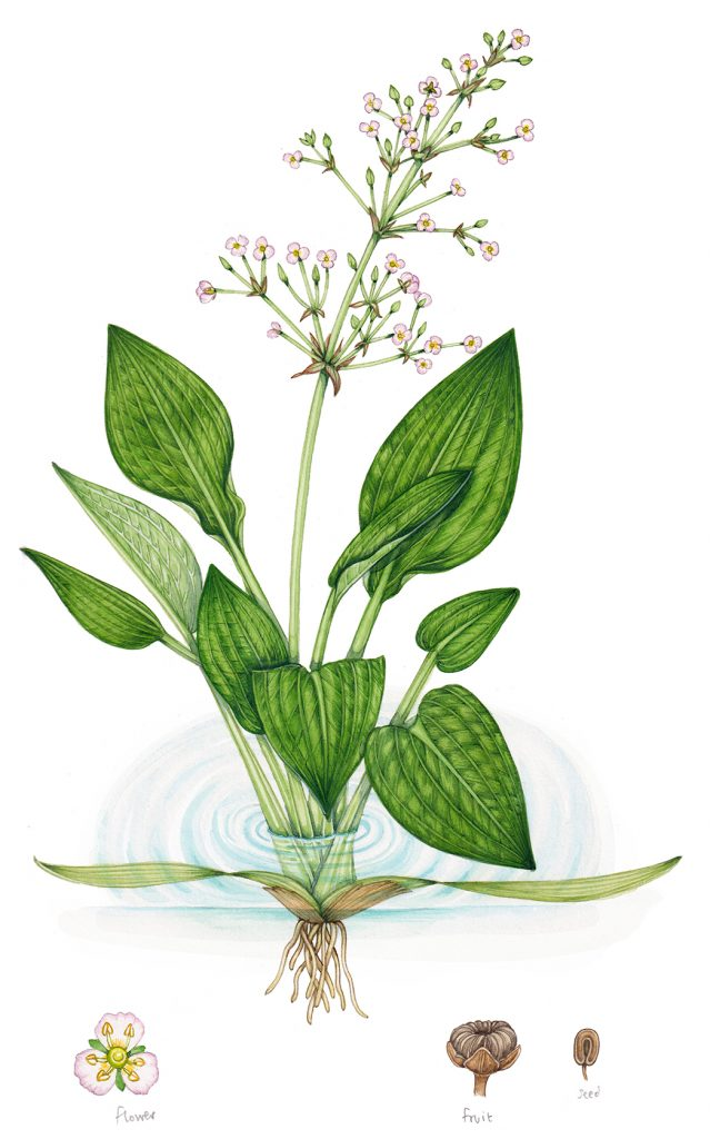 water plantain