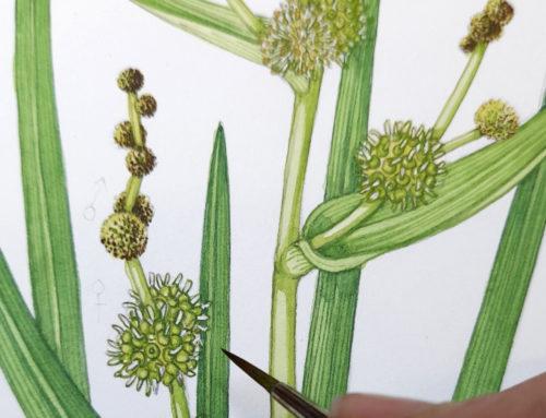 The Gwent Levels: Botanical illustrations