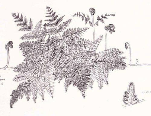 Illustrating Bracken and Ferns