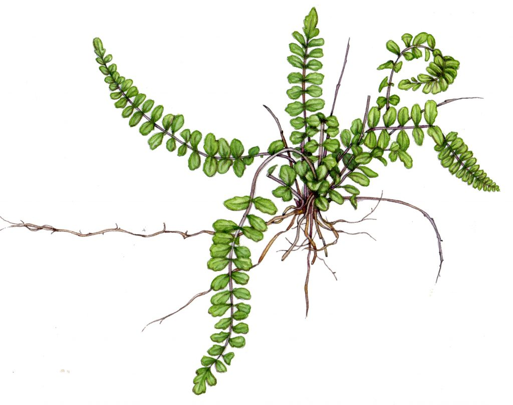 Maidenhair spleenwort Asplenuum trichomanes natural history illustration by Lizzie Harper