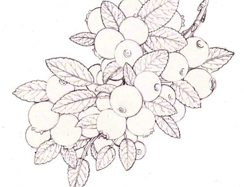 Blueberry: step by step Pen and Ink illustration